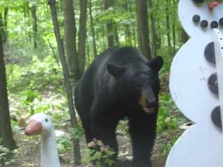 Black bear. A common visitor during the summer months.